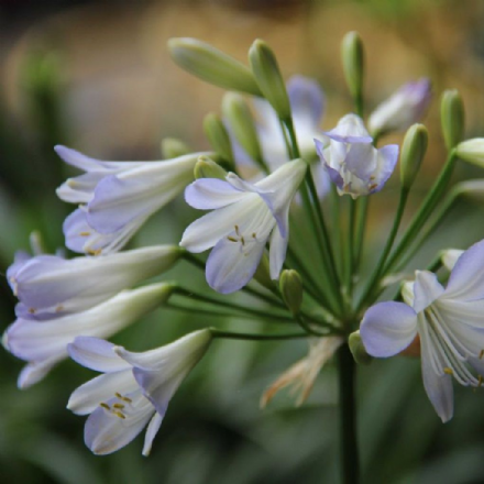 Agapanthus Silver Baby